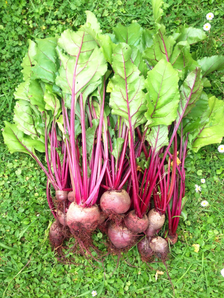 Beetroot Harvested in Garden