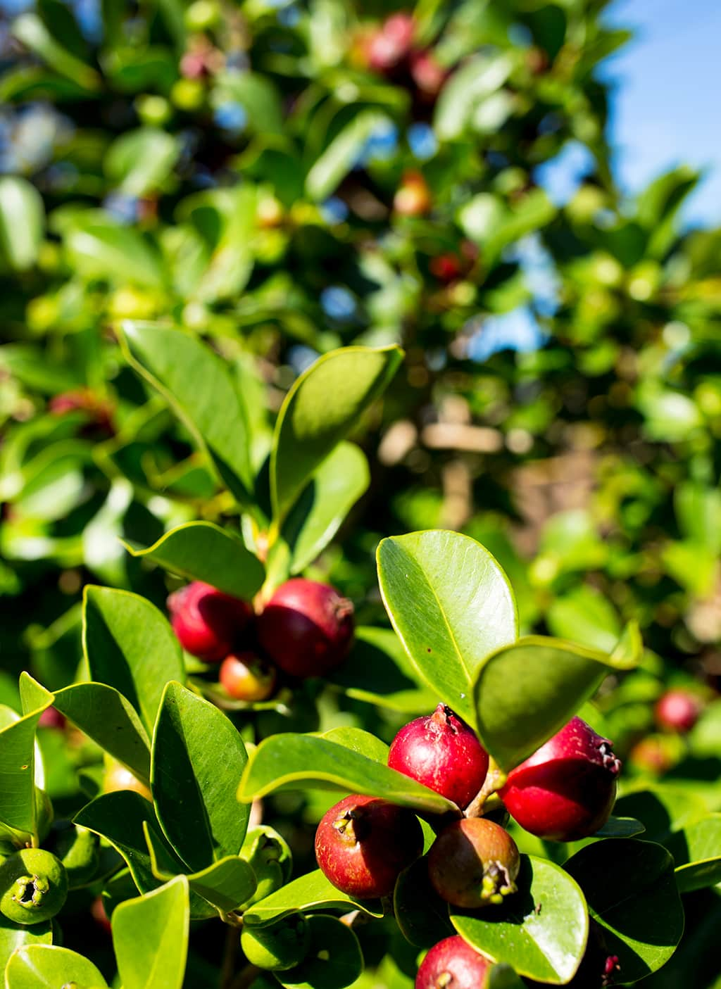 Chilean Guava Tree